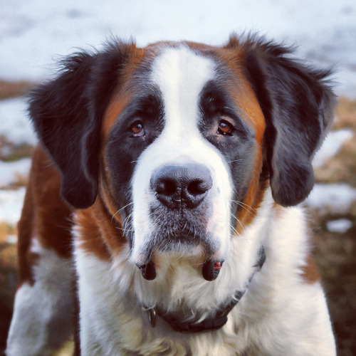 fypastoraldogs:  Saint Bernard by dillonmasington on Flickr.