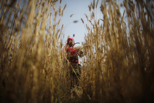 fotojournalismus:  Nepalese women harvest wheat on the outskirts of Katmandu on May 3, 2013. [Credit : Niranjan Shrestha/Associated Press]