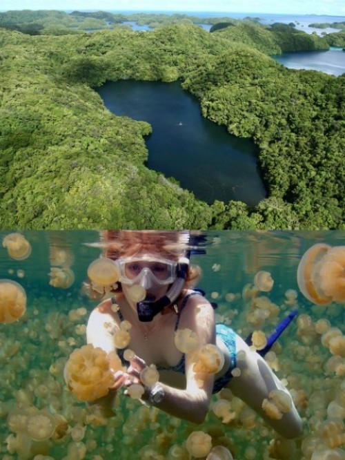 seanagain:   Palau's Jellyfish Lake once had an outlet to the sea, but is now connected to the ocean through fissures and tunnels in the surrounding limestone. Millions of jellyfish were trapped in the basin when sea levels dropped, and over time they evolved into a species that have lost the ability to sting because they don't have to fight off predators. Jellyfish Lake is a snorkeling and swimming extravaganza where you can get up close and personal with an estimated 10 mil Jellyfish.  Whoa.