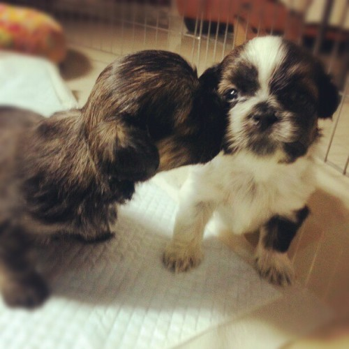 Oh sweet puppy love.. shadow and moo :) .  #puppylove #sweet #cute #cutestagram #cutedog #pretty #prettydog #igersasia #igersdaily #igers #igdaily #igerscebu #igersphilippines #instashihtzu #shihtzupuppy #shihtzu #cutie #blackandwhite #cutiepie #puppies #pets #petstagram #instadaily #instamood #tagsforlikes #followme #followback