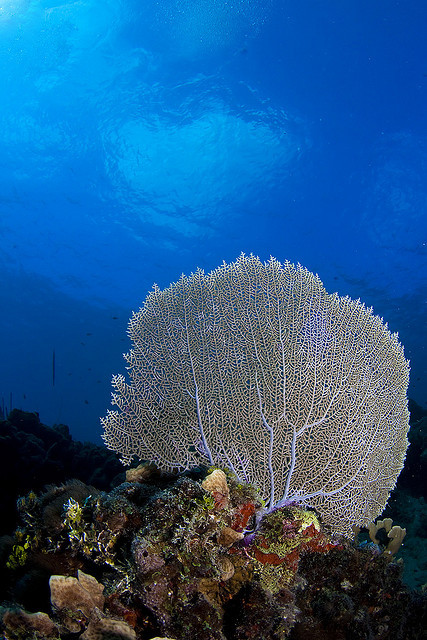 thelovelyseas:  #12.1 Common sea fan by Martin-Klein on Flickr.