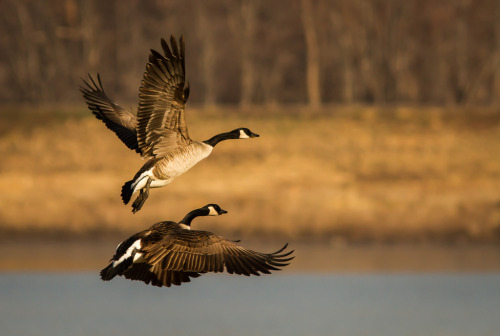 Geese taking flight (by Rick Smotherman)