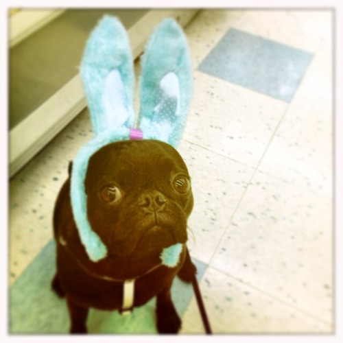 Easter pug submitted by Jennifer