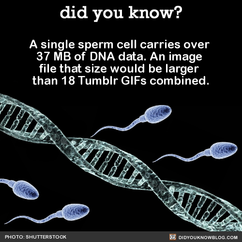 A single sperm cell carries over  37 MB of DNA data. An image  file that size would be larger  than 18 Tumblr GIFs combined.  Source Source 2Yet they can up'load' in seconds…