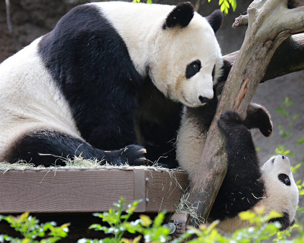 giantpandaphotos:  Bai Yun and her son Xiao Liwu at the San Diego Zoo on March 9, 2013. © Angie Bell.