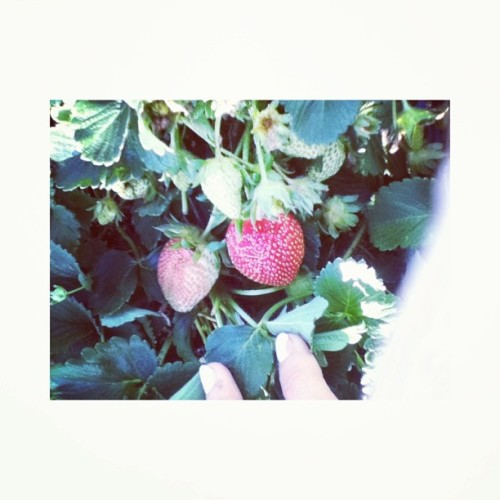 So in love with how Lorna's strawberries are already in. 💘🍓☀