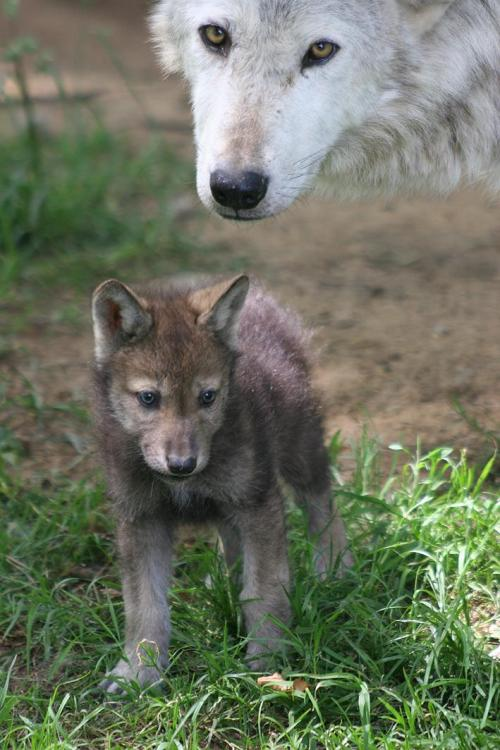 llbwwb:  Wolves: Mom and Pup by Wolfman.