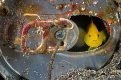 allcreatures:  A tiny yellow goby living inside an abandoned soda can in Suruga Bay, Japan. Photograph: Brian Skerry