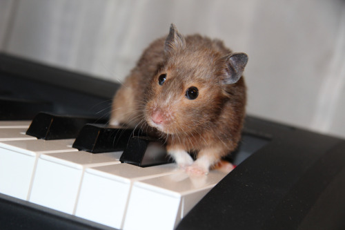 "Hamster Pianist Sells Out Lincoln Center Though she only just announced her one-night-only performance at Lincoln Center in New York City, Missy the hamster has already oversold the venue, drawing classical music enthusiasts from around the region. Her concert will feature Rachmaninoff's Piano Concerto No. 2, and there is talk of a special guest appearance. ""I really hope it's Yo-Yo Ma,"" says Ashley DePalo, one of the lucky fans who scored tickets. ""I saw them play together in Colorado Springs. It was amazing."" Via Nehama Verter."