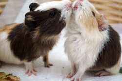 guineapiggies:  (Just a kiss by ~lilypsiren)