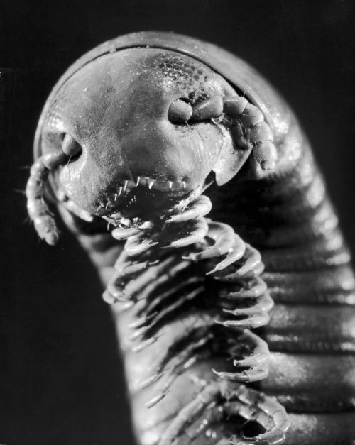 life:  Oh, hello — A macro close-up of a millipede, 1950. (Andreas Feininger—Time & Life Pictures/Getty Images)