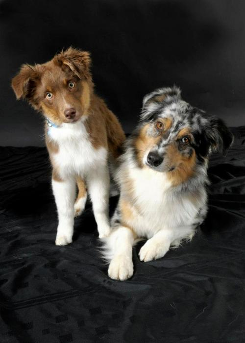 handsomedogs:  Mischa (red tri) and MJ at their photoshoot<3