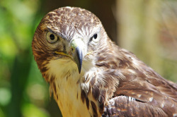 wingedpredators:  Trinity, Red Tailed Buzzard (Photo by Hugobian)