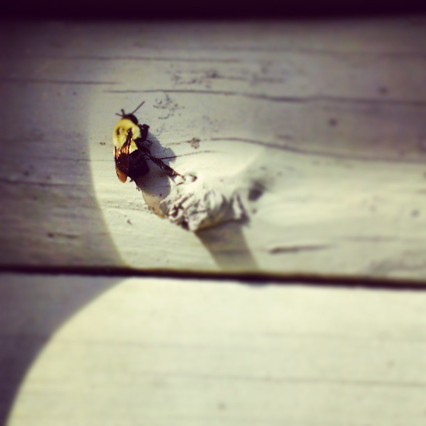 This dude's been buzzin' around since we got here.  #bumblebee #buzz #northcarolina #nature #vacation