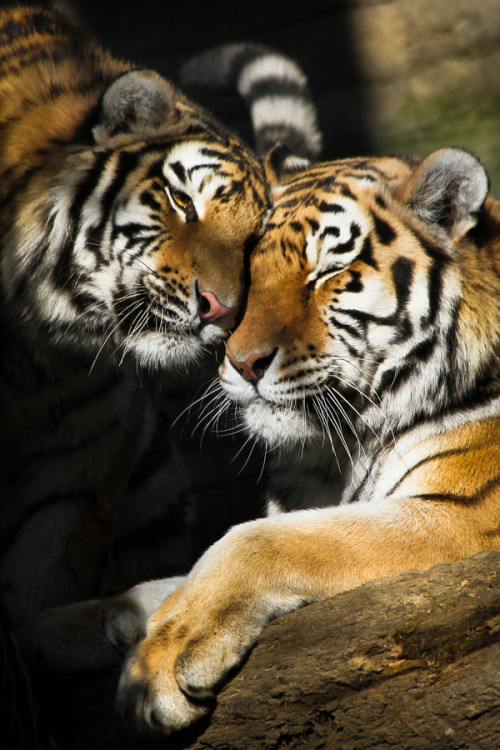 love animals nature wildlife tiger tigers