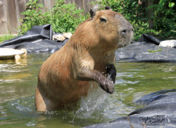 Sometimes Garibaldi Rous thinks it is more fun to jump out of the pond like something is after him rather than calmly walking out like a sane capybara.