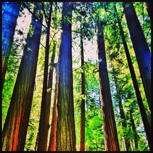 I was among the big trees today #redwoods #trees #rays #forrest #california #california_igers #mounttam #tamalpais #marin (at Mount Tamalpais State Park)