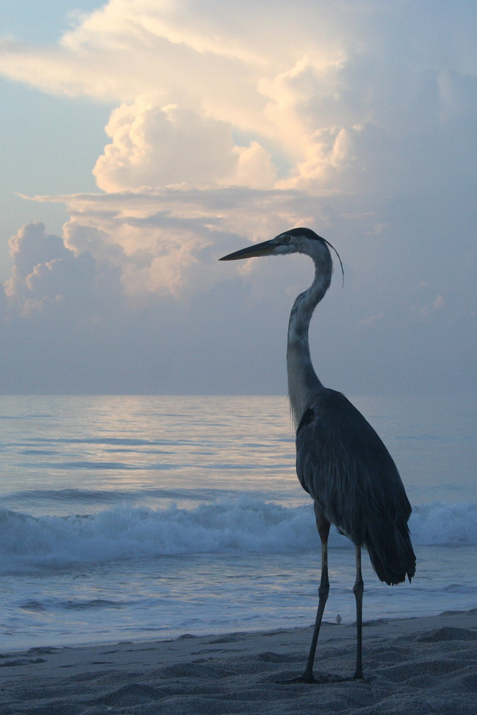 asthmas:  Heron Taking in the Sunrise ϟ by leisakay3