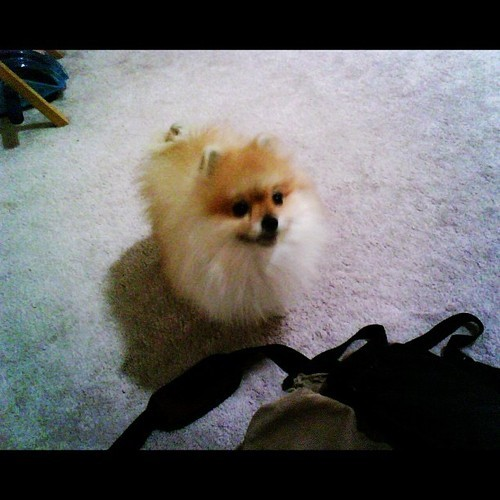 Hehe my teddy bear pom when he was like…… 2 years old. #pomeranian #momo #teddybearpom #pom #pomlove #teddybear #cutie #dog #pet #adorable #fluffy
