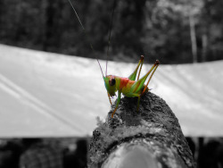 Little Green Cricket (Edit) on Flickr.