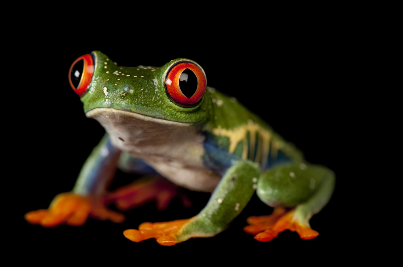 scienceisbeauty:  A red-eyed treefrog (Agalychnis callidryas). This species can be found throughout most of Central America, as far north as southern Mexico. Credit: Joel Sartore Source (UNL News Releases, University of Nebraska–Lincoln)