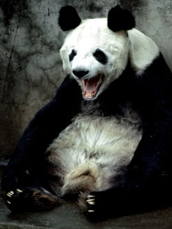 thevuas:  Panda Yawning, Kunming, China - by Jodi Cobb