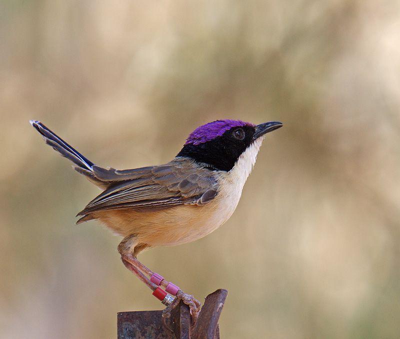 purple crowned fairywren