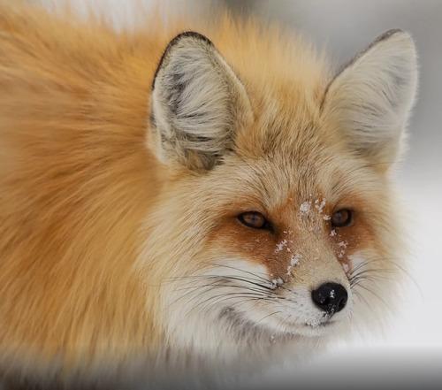 beautiful-wildlife: Photo Series | ~ Red Fox / Cross Fox ~   Images by ©  •David Hemmings #wildlife#animals#nature#fox#red fox#cross fox#photo set