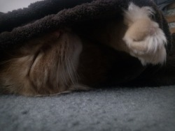 My cat sleeping under a blanket, gah…