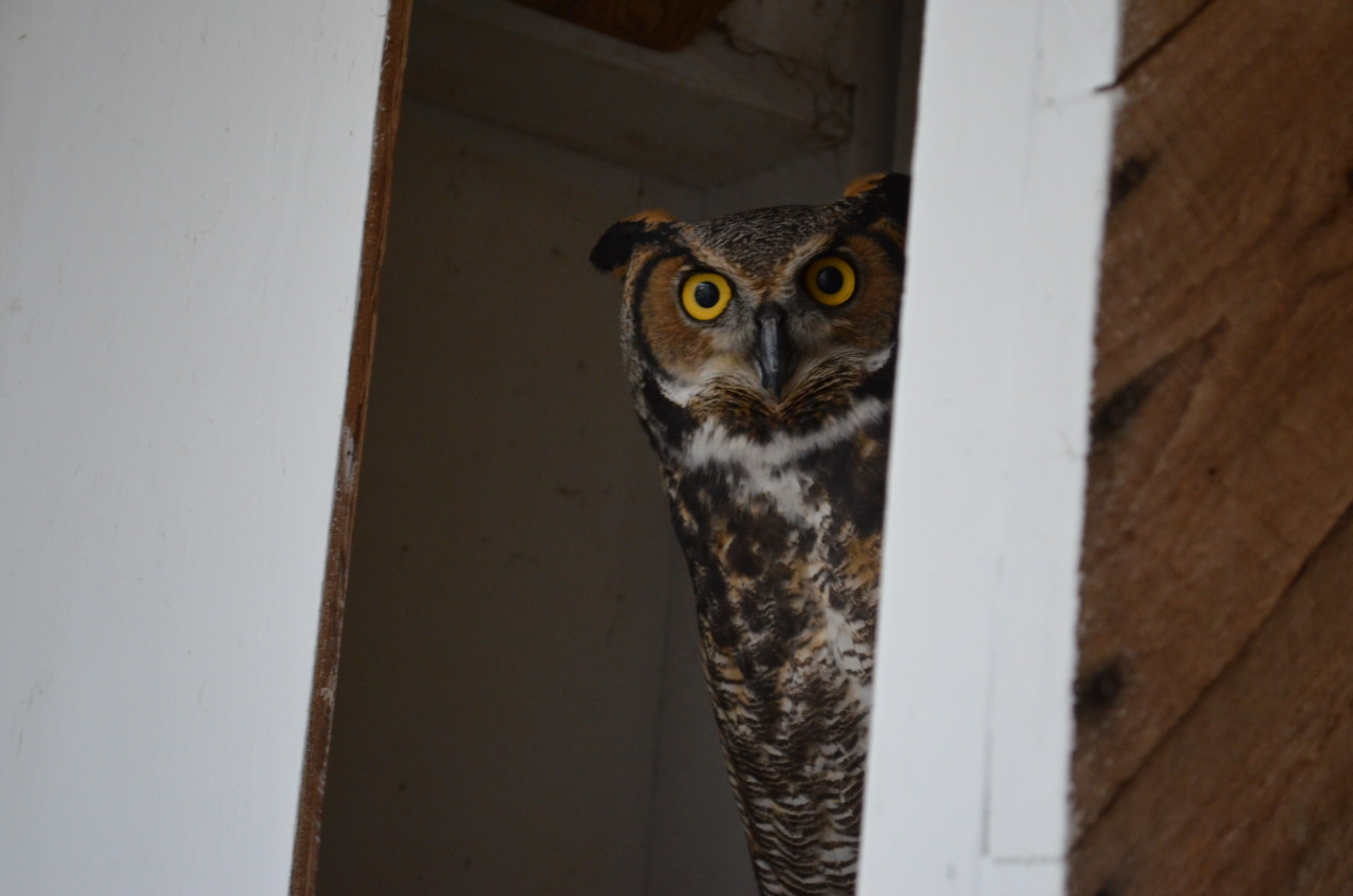 March 4, 2013 Staring contest with a Great Horned Owl.  Good luck.