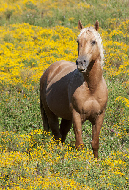 Horse in Yellow Field near Cabool MO by Mike Jagendorf on Flickr.