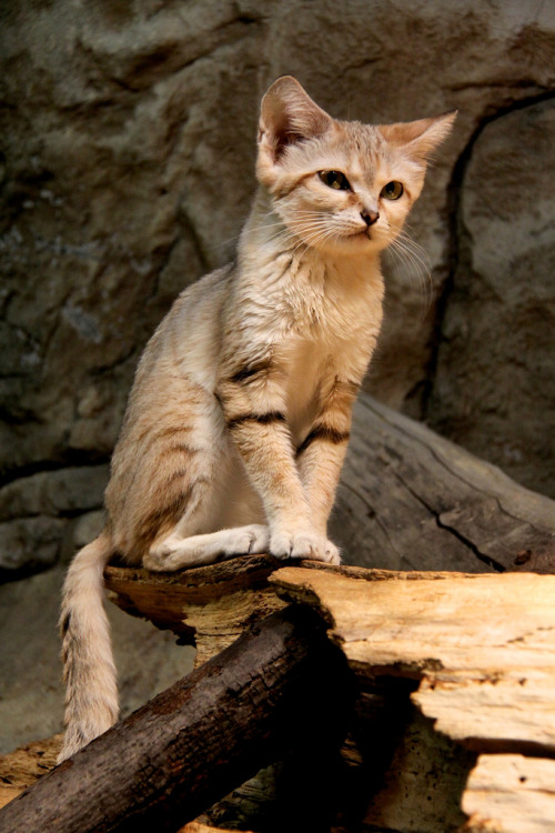 magicalnaturetour:  Cute Sand Cat (by Yinghai)