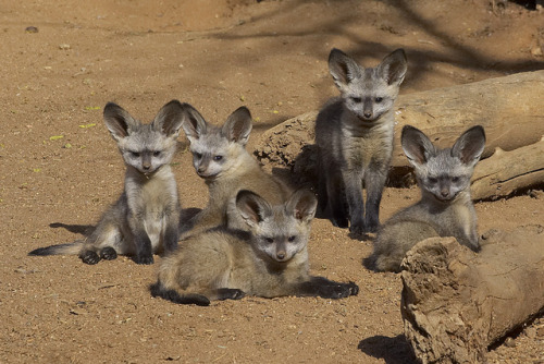 Bat-eared fox kits take a load off at the Safari Park.