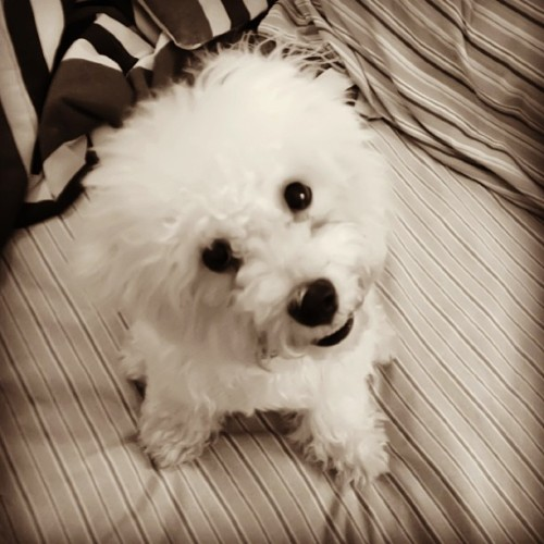 Hello @joycedignacio i have a new trick! 🐶 #Bella #BichonFrise