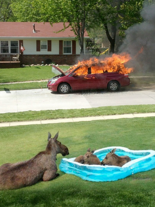rhamphotheca:  thehomosuperior: Some moose just wanna watch the world burn… (via: hate-d)