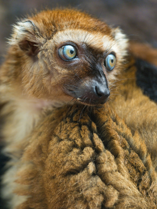 theanimalblog:  Female Sclaters lemur (by Tambako the Jaguar)