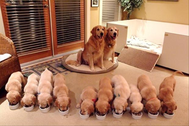 Golden Retriever Family… this is just too much cute for one picture!