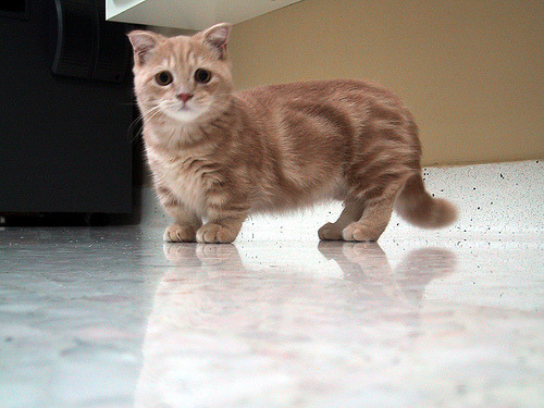 thaiannasurvive:  This is a munchkin cat, they have the same gene that gives dachshunds their long body and short legs. Enjoy. - Imgur