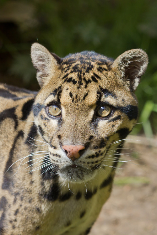 h4ilstorm:  Clouded Leopard (by AnthonyGurr)