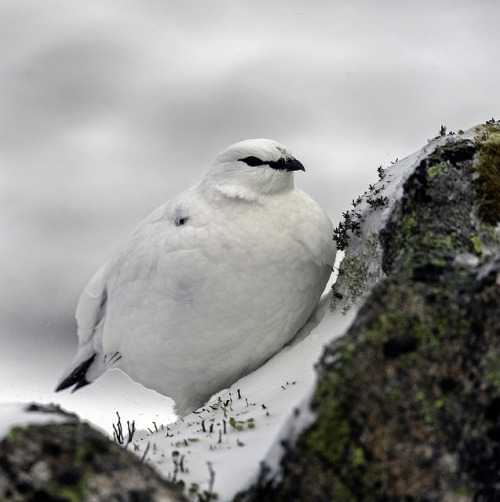 fat-birds:  Ptarmigan taking shelter by David C Walker 1967 on Flickr.  It's so beautiful. ='}