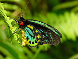 The Cairns Birdwing Butterfly