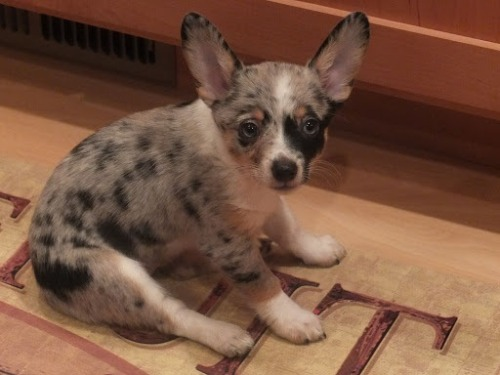 My Pepper….a cowboy Corgi (mini red heeler and Corgi). Three months old and full of spunk!