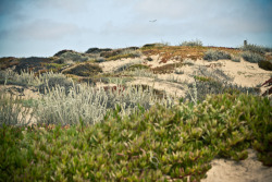Coastal dunes. Monterey Beach, California.