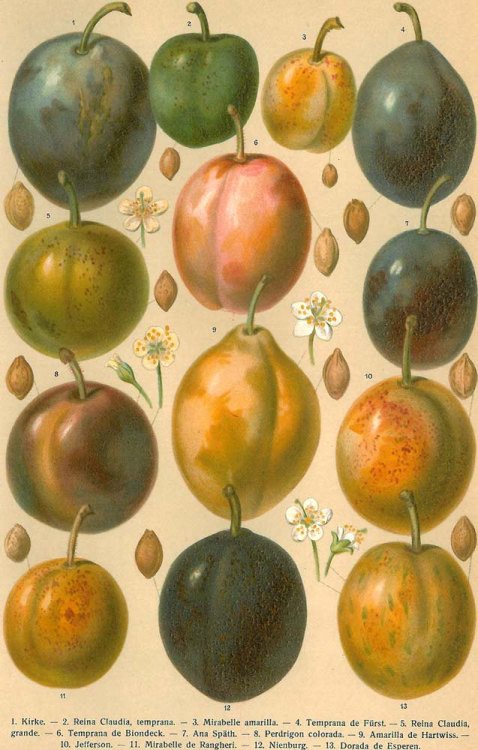aycarambas:  Pears Color Lithograph Print 1923 to Frame at CarambasVintage http://etsy.me/VFgw6B  Probably plums rather that pears