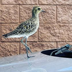 Our neighborhood kolea (Pacific golden plover, or Pluvialis fulva) is surprisingly comfortable around humans… and this morning was sunning himself on the hood of a neighbor's car