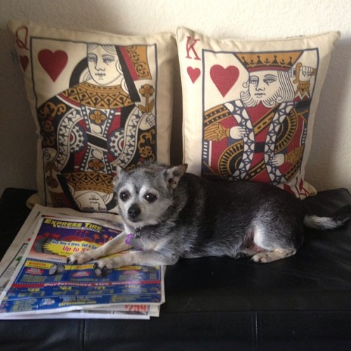 I swear BooBoo just waits in spots posing just waiting for me to take her photo.  #chihuahua #dog #cute #random #posing #model #cards #pillows #randomness