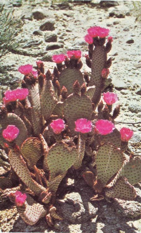 Cactus: Opuntia basilaris (beaver tail cactus :D)Book: Cactus and Succulents; House plants & Landscaping Ideas in Color by the Editors of Sunset Books and Sunset MagazinePhotograp made by Paul R. Johnson