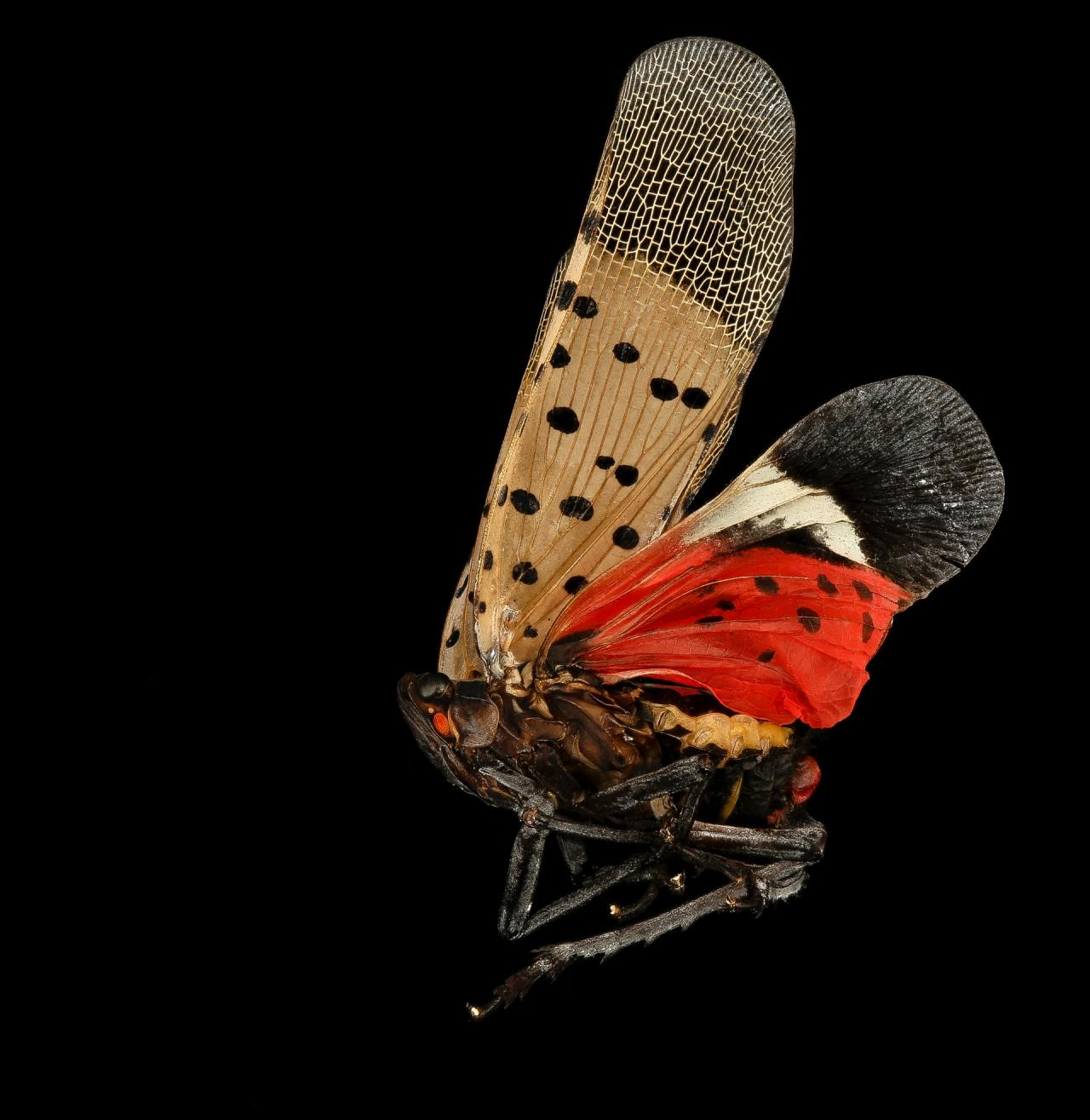Spotted Lanternfly (Lycorma delicatula). An impressive 2 inch exotic Fulgorid type thing from China and Southeast asia, it is a bark sucker and can do tremendous damage to smooth barked woody plants.   Photographer: USGS #usgs#photographer#spotted lanternfly#lycorma delicatula#china#southeast asia#nature#insect#macro photography