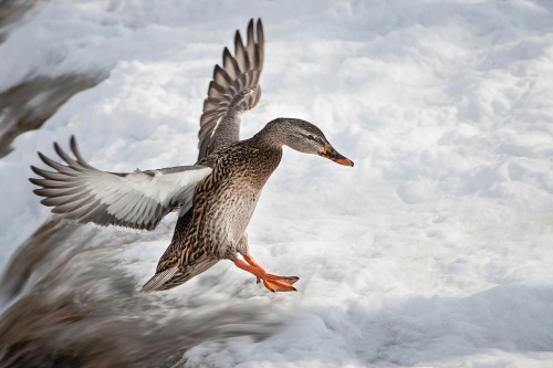 Flying Duck (by Justin Lo Photography)