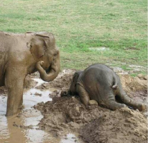 Sometimes the adolescent elephant will throw itself on the ground in a time of extreme distress commonly know as a tantrum.